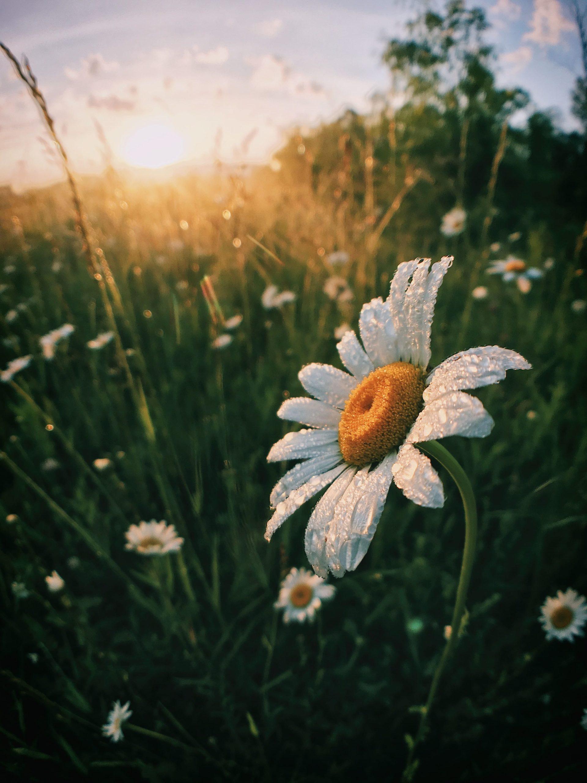 カモミールのお花